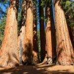 Sequoia trees in Sequoia National Park, California